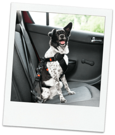 Black and white dog wearing safety harness in car